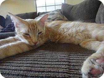 Domestic Mediumhair Cat for adoption in Chandler, Arizona - Tater Tot