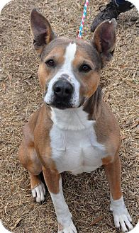 American Pit Bull Terrier Mix Dog for adoption in Colonial Heights, Virginia - Tyson