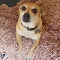 Chihuahua Mix Dog for adoption in Encino, California - BooBoo