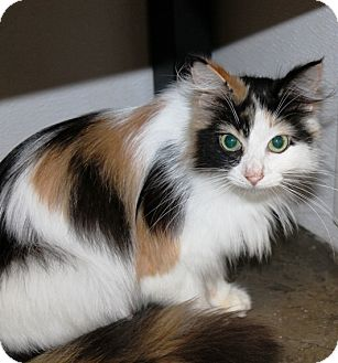 Domestic Longhair Cat for adoption in Kalamazoo, Michigan - Mona Lisa