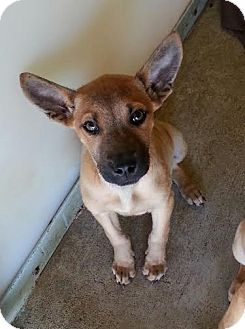 Black Mouth Cur Mix Puppy for adoption in Pluckemin, New Jersey - Kirby