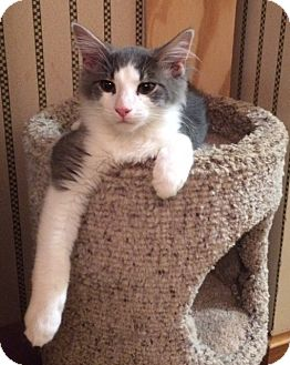 Maine Coon Kitten for adoption in Wayland, Michigan - Gus