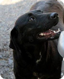 Labrador Retriever Mix Dog for adoption in Naugatuck, Connecticut - Camille