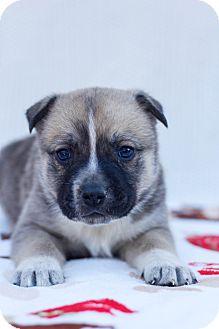German Shepherd Dog/Australian Shepherd Mix Puppy for adoption in Auburn, California - Samson