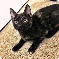 Adopt A Pet :: Bellatrix - Arlington/Ft Worth, TX