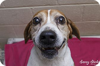 Beagle Mix Dog for adoption in Greensburg, Pennsylvania - Wade