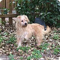 Adopt A Pet :: POPPY - hollywood, FL