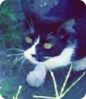 Domestic Mediumhair Cat for adoption in Hillside, Illinois - Eliza- ATTENTION-SEEKER