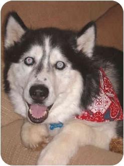 Siberian Husky Dog for adoption in Boyertown, Pennsylvania - Timber
