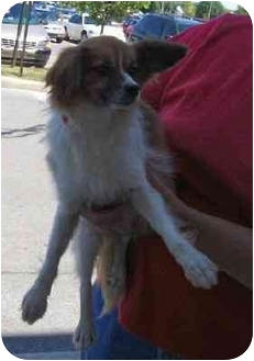 Papillon Puppy for adoption in Wauseon, Ohio - Joey