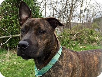 American Staffordshire Terrier Mix Dog for adoption in Pittsburgh, Pennsylvania - Cleo