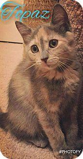 Domestic Shorthair Kitten for adoption in Garner, North Carolina - Topaz