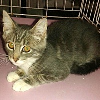 Adopt A Pet :: CJ KITTEN - valhalla, NY