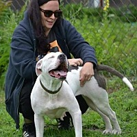 Pit Bull Terrier Dog for adoption in Fulton, Missouri - Adorable Ava - Rhode Island