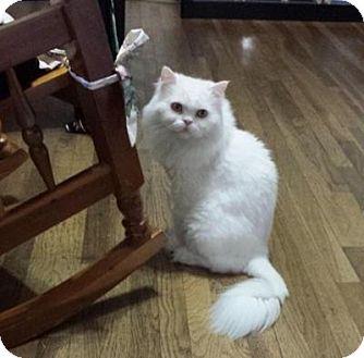 Persian Cat for adoption in Beverly Hills, California - Yuki