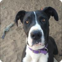 Adopt A Pet :: Pandora - Reno, NV