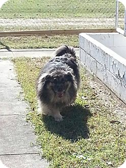 Chow Chow/Keeshond Mix Dog for adoption in Colonial Heights animal shelter, Virginia - Buckey