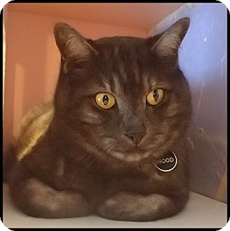 Domestic Shorthair Cat for adoption in Colorado Springs, Colorado - Hoodie