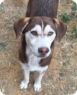 Husky/Siberian Husky Mix Dog for adoption in Charlotte, North Carolina - Nikki