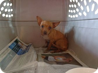 Chihuahua/Terrier (Unknown Type, Small) Mix Puppy for adoption in Litchfield Park, Arizona - Sunshine - Only $95 adoption!!
