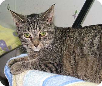 Domestic Shorthair Cat for adoption in New Kensington, Pennsylvania - Bear