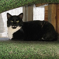 Domestic Shorthair Cat for adoption in Chicago, Illinois - Got Milk