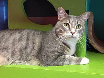 Domestic Shorthair Cat for adoption in Topeka, Kansas - Hobo