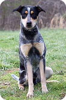 Hound (Unknown Type)/Cattle Dog Mix Dog for adoption in Waldorf, Maryland - Norman