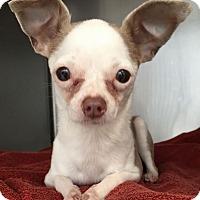 Adopt A Pet :: Amaya - San Diego, CA