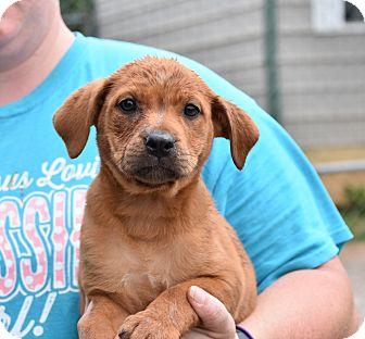 Bullmastiff Mix Puppy for adoption in Groton, Massachusetts - JEANAY
