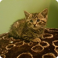 Adopt A Pet :: Dib - Morgantown, WV