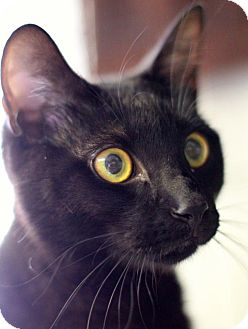 Domestic Shorthair Cat for adoption in Winston-Salem, North Carolina - Rosco