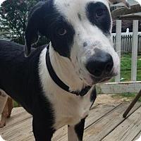 Adopt A Pet :: Buckeye - Raleigh, NC