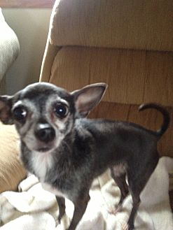 Chihuahua Dog for adoption in Crown Point, Indiana - Suzie Q