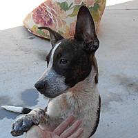 Adopt A Pet :: Buck - Apache Junction, AZ