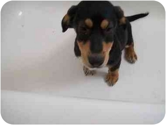 Coonhound/Corgi Mix Puppy for adoption in Bel Air, Maryland - Snickers