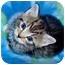 Photo 2 - Domestic Shorthair Kitten for adoption in Arlington, Virginia - Lacey & Lucas