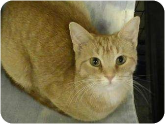 Domestic Shorthair Cat for adoption in Columbiaville, Michigan - CeCe