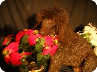 Poodle (Standard) Dog for adoption in New Jersey, New Jersey - NJ - Oliver