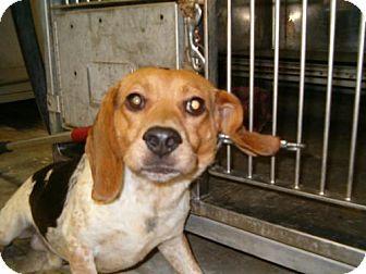 Beagle Dog for adoption in Upper Sandusky, Ohio - BUCKY
