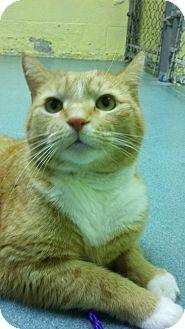 Domestic Shorthair Cat for adoption in Richboro, Pennsylvania - King Phil