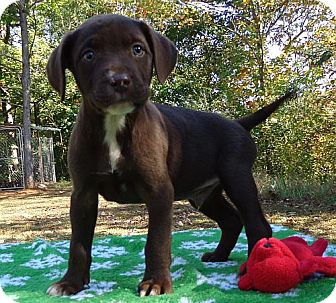 Labrador Retriever/American Staffordshire Terrier Mix Puppy for adoption in Hagerstown, Maryland - Hershey
