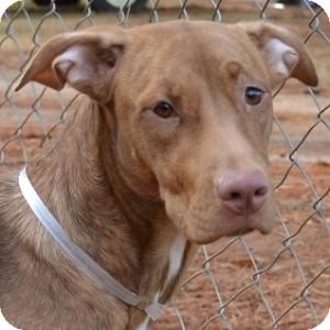 Hound (Unknown Type)/Labrador Retriever Mix Dog for adoption in Athens, Georgia - Gina