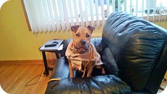 German Shepherd Dog/American Pit Bull Terrier Mix Dog for adoption in bridgeport, Connecticut - Hercules
