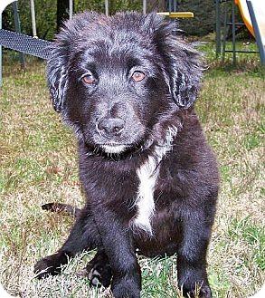 Golden Retriever/Border Collie Mix Puppy for adoption in Brattleboro, Vermont - Mr Milo