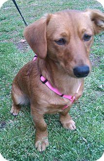 Dachshund Mix Dog for adoption in Bardonia, New York - Molly Mae