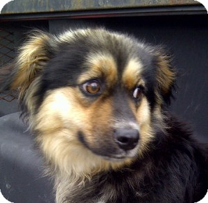 Pekingese/Papillon Mix Dog for adoption in Glastonbury, Connecticut - BOO/Summer Special Pricing