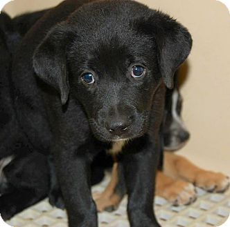Labrador Retriever Mix Puppy for adoption in Westminster, Colorado - Cheyenne