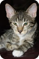 Bengal Cat for adoption in Mission Viejo, California - Spencer