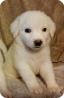 Great Pyrenees/Golden Retriever Mix Puppy for adoption in Croydon, New Hampshire - Cami in New England